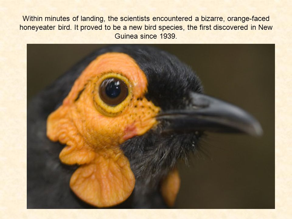 Within minutes of landing, the scientists encountered a bizarre, orange-faced honeyeater bird.