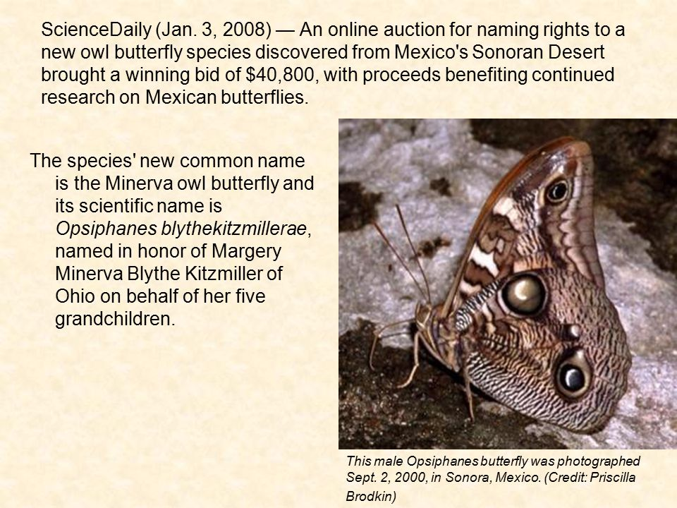 ScienceDaily (Jan. 3, 2008) — An online auction for naming rights to a new owl butterfly species discovered from Mexico s Sonoran Desert brought a winning bid of $40,800, with proceeds benefiting continued research on Mexican butterflies.