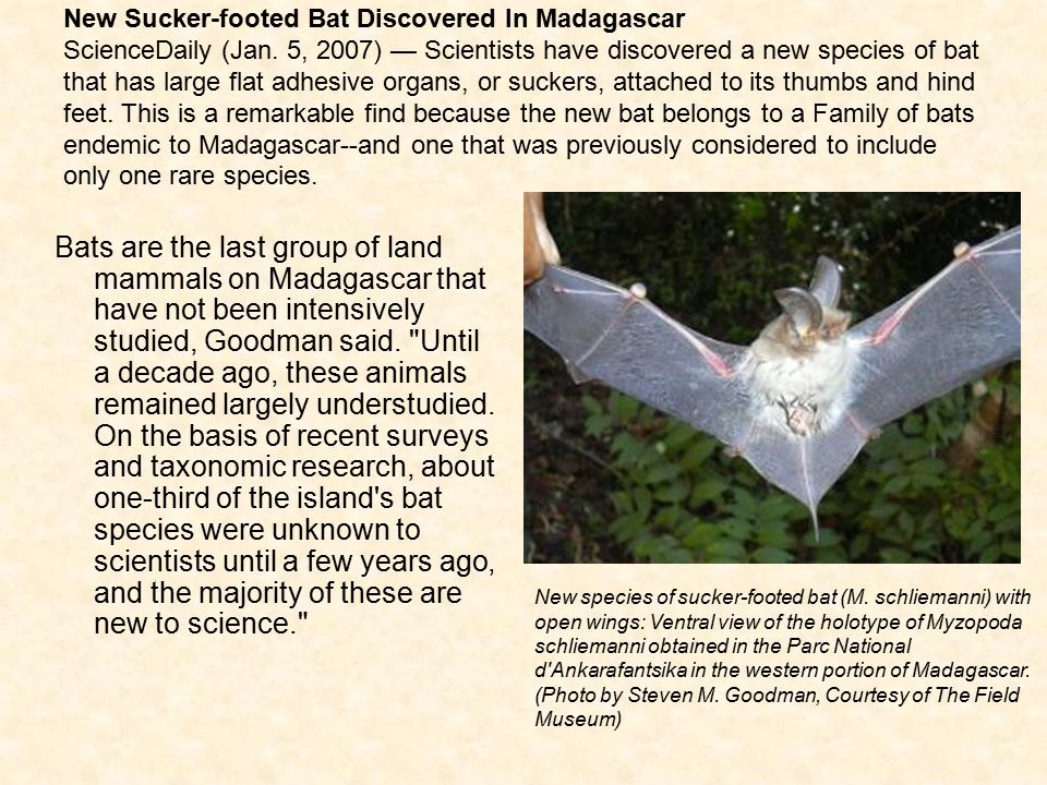 New Sucker-footed Bat Discovered In Madagascar ScienceDaily (Jan