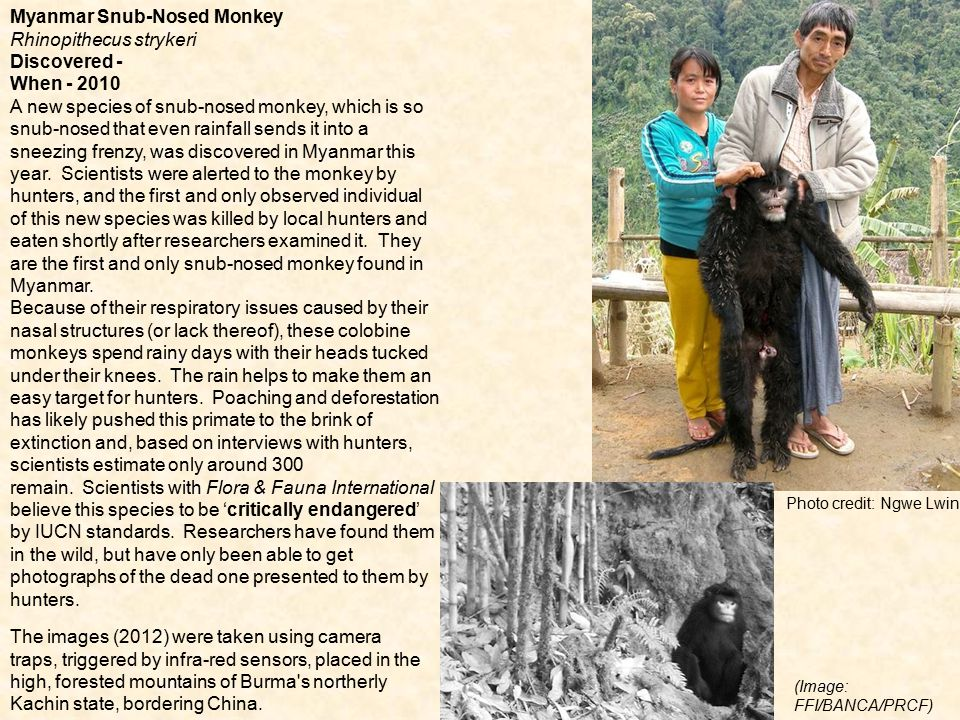 Myanmar Snub-Nosed Monkey Rhinopithecus strykeri Discovered -