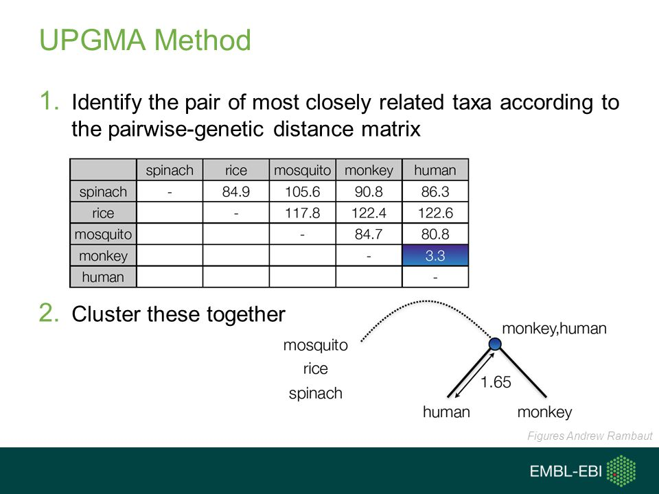 UPGMA Method Identify the pair of most closely related taxa according to the pairwise-genetic distance matrix.