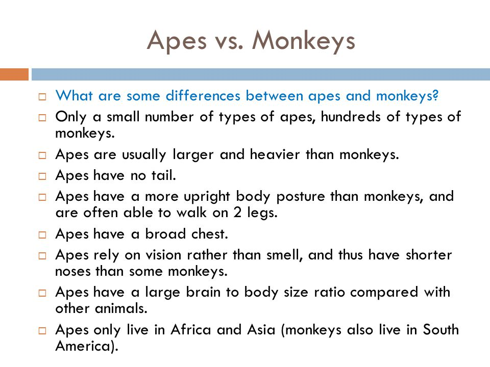 Apes vs. Monkeys What are some differences between apes and monkeys
