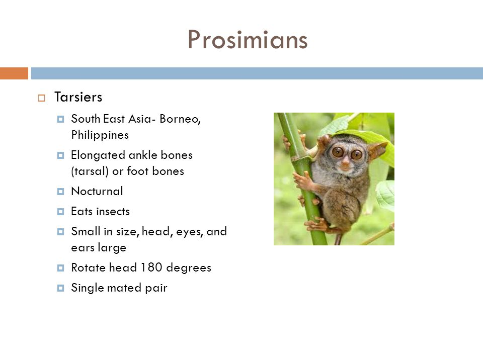 Prosimians Tarsiers South East Asia- Borneo, Philippines