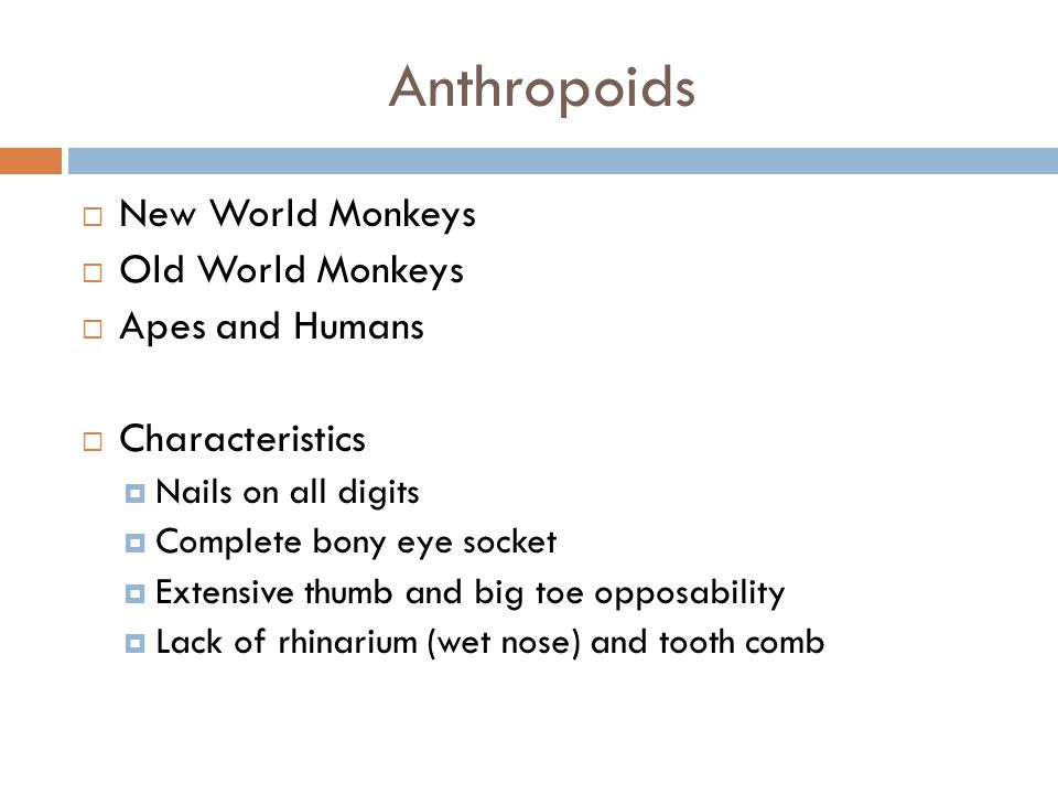 Anthropoids New World Monkeys Old World Monkeys Apes and Humans