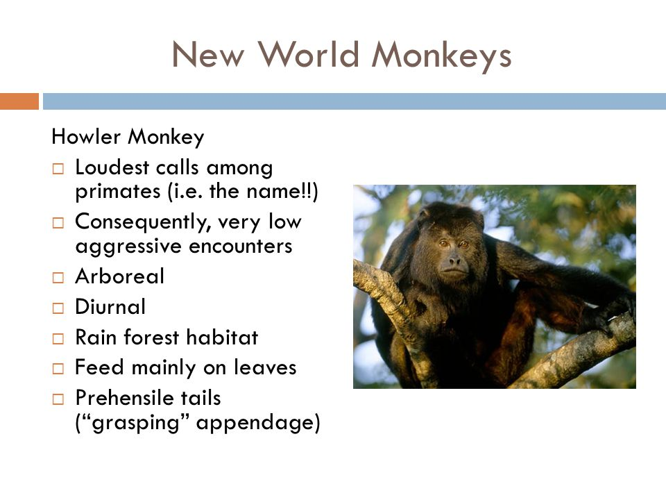 New World Monkeys Howler Monkey