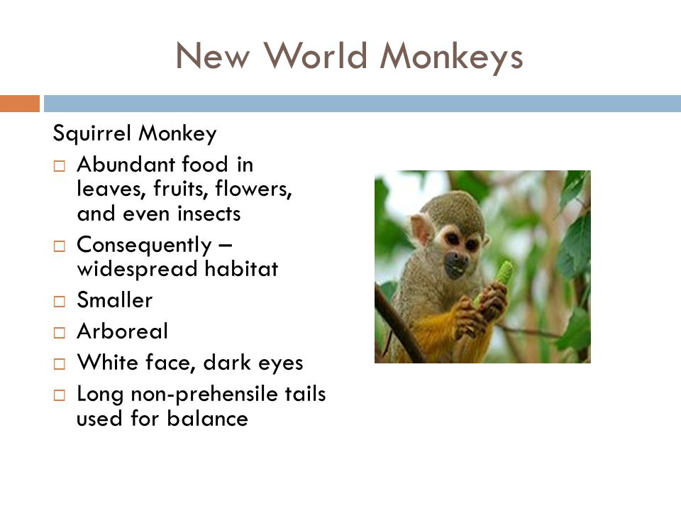 New World Monkeys Squirrel Monkey