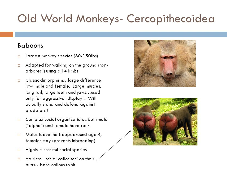 Old World Monkeys- Cercopithecoidea