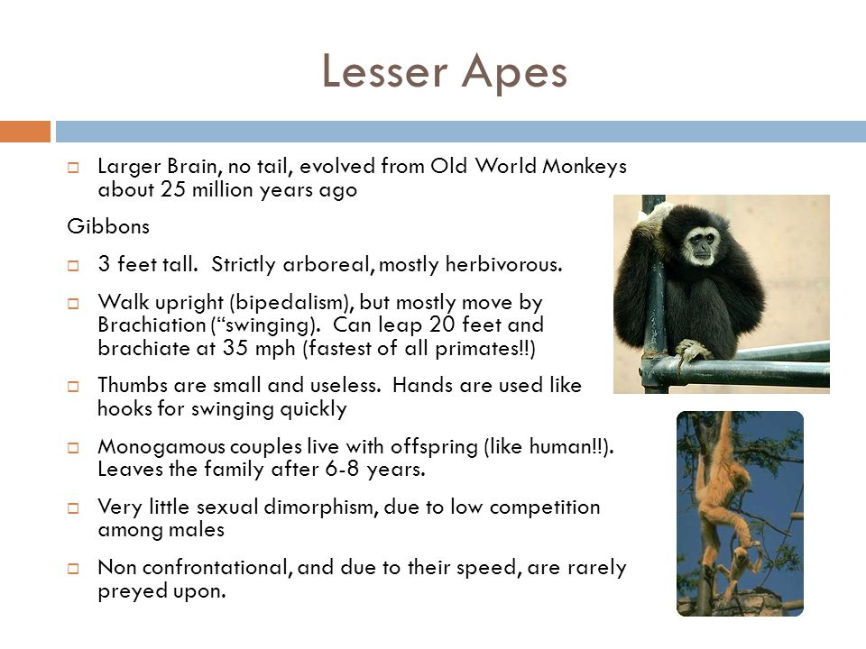 Lesser Apes Larger Brain, no tail, evolved from Old World Monkeys about 25 million years ago. Gibbons.