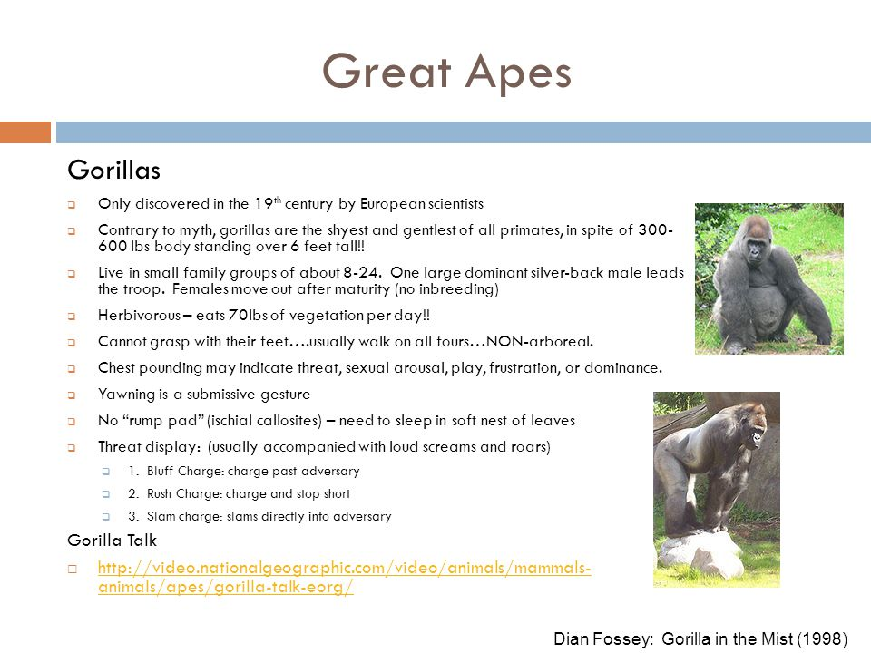 Great Apes Gorillas Gorilla Talk