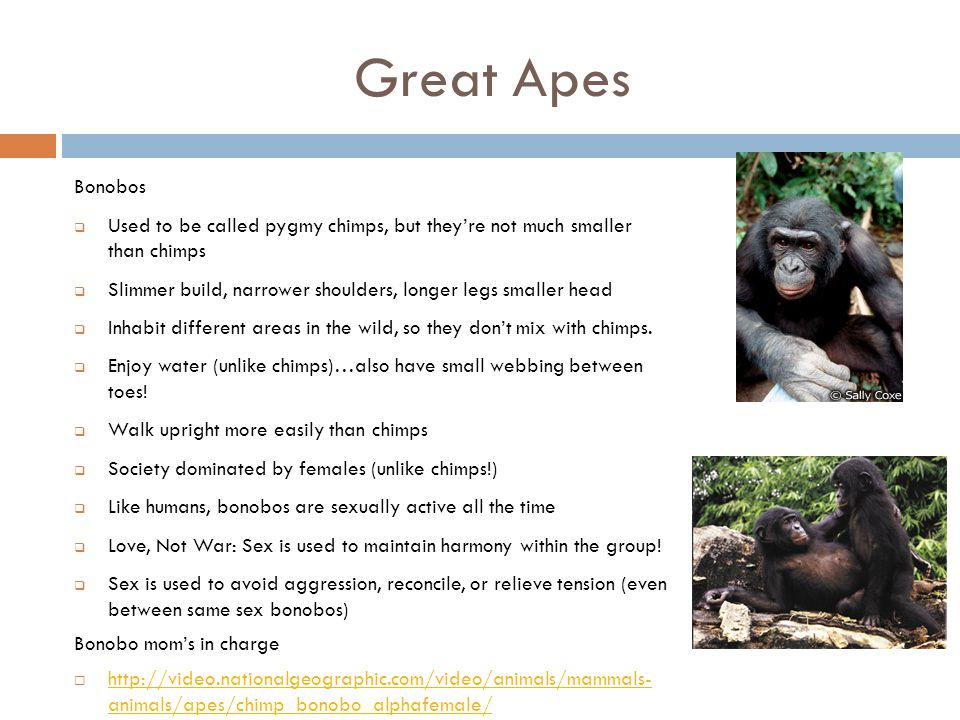 Great Apes Bonobos. Used to be called pygmy chimps, but they're not much smaller than chimps.