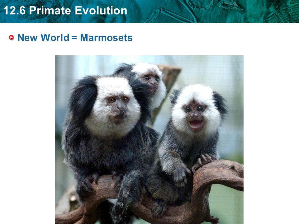 New World = Marmosets