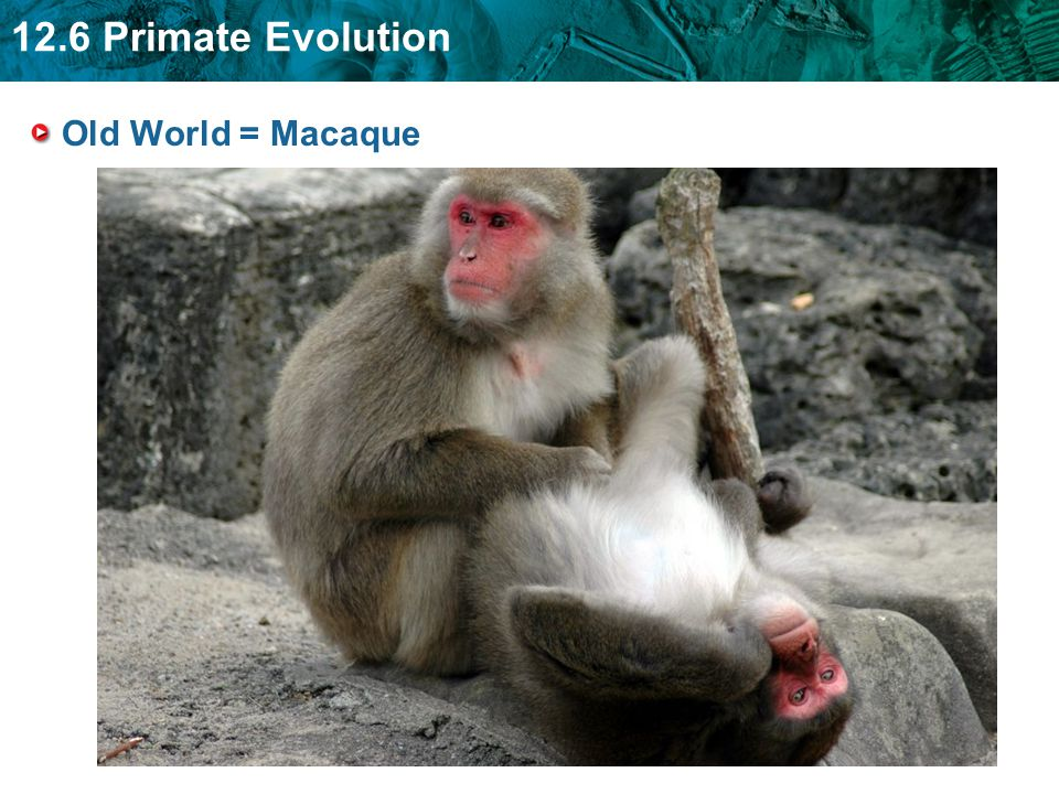 Old World = Macaque