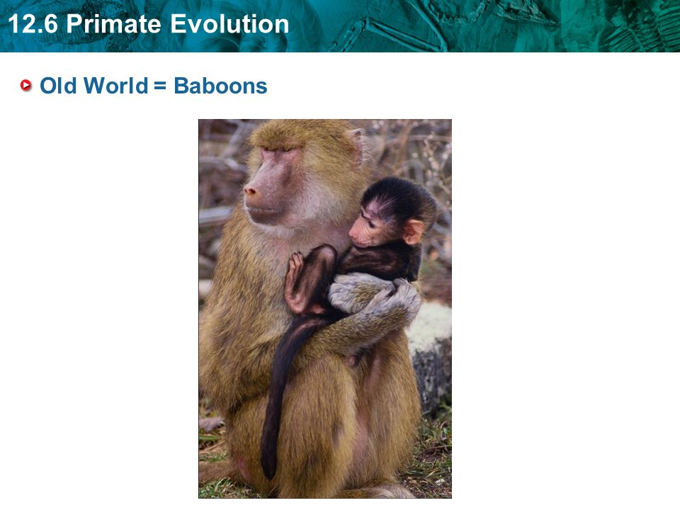 Old World = Baboons