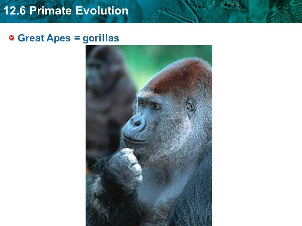 Great Apes = gorillas
