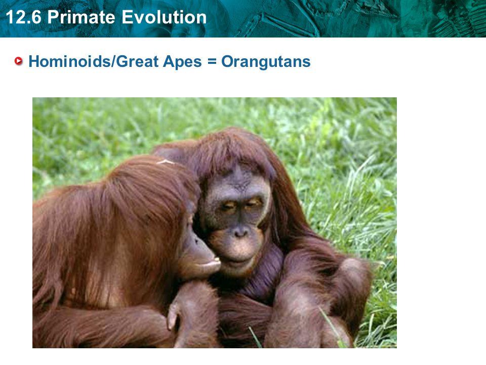 Hominoids/Great Apes = Orangutans