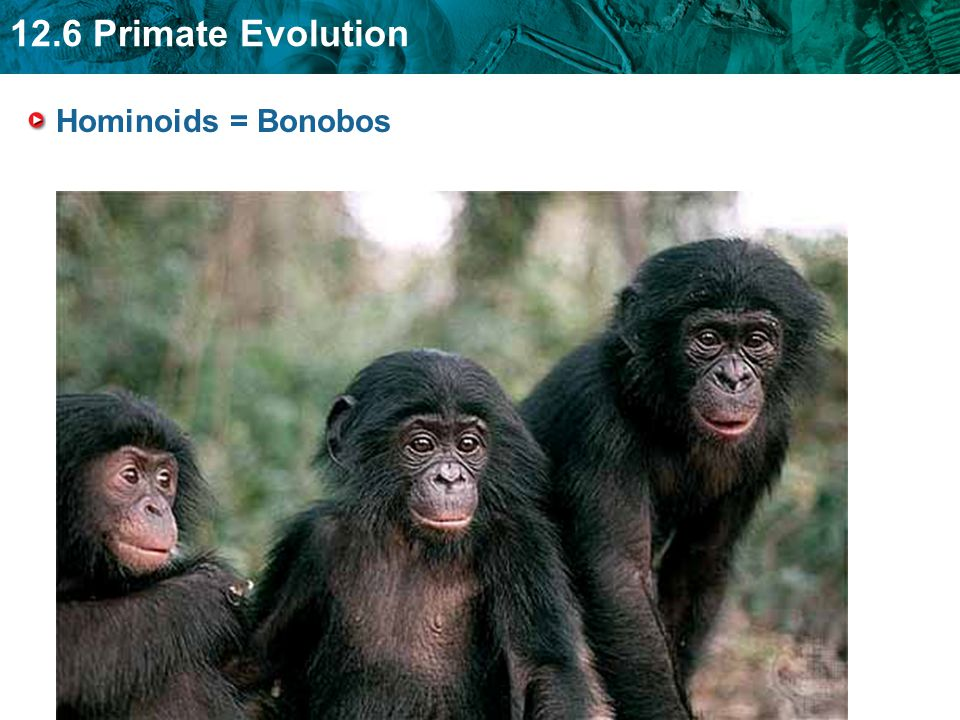Hominoids = Bonobos