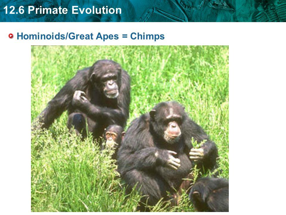 Hominoids/Great Apes = Chimps