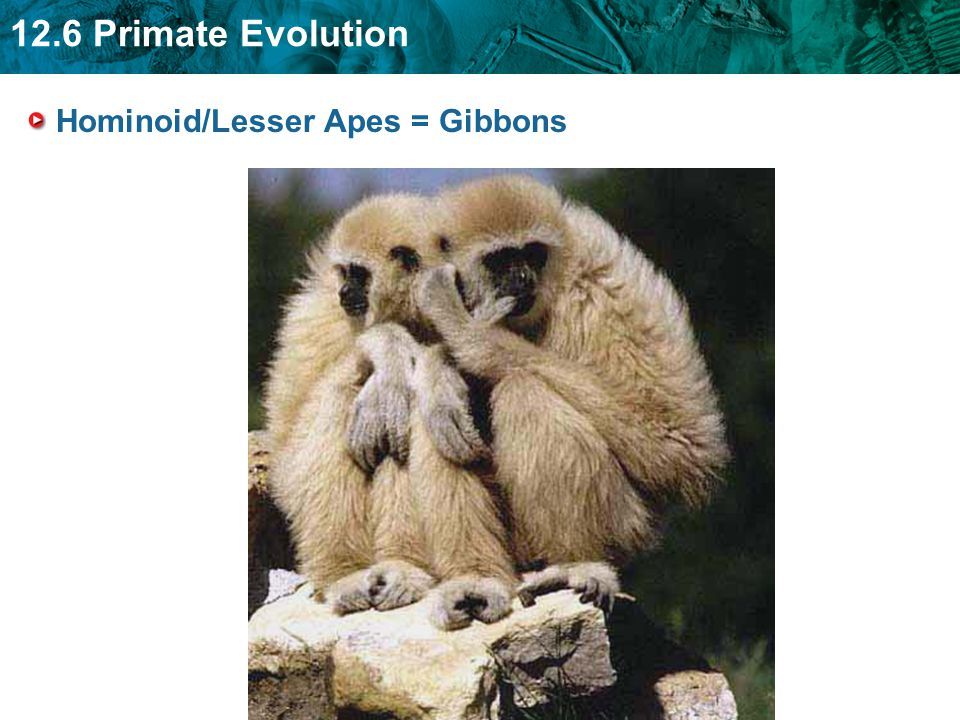 Hominoid/Lesser Apes = Gibbons