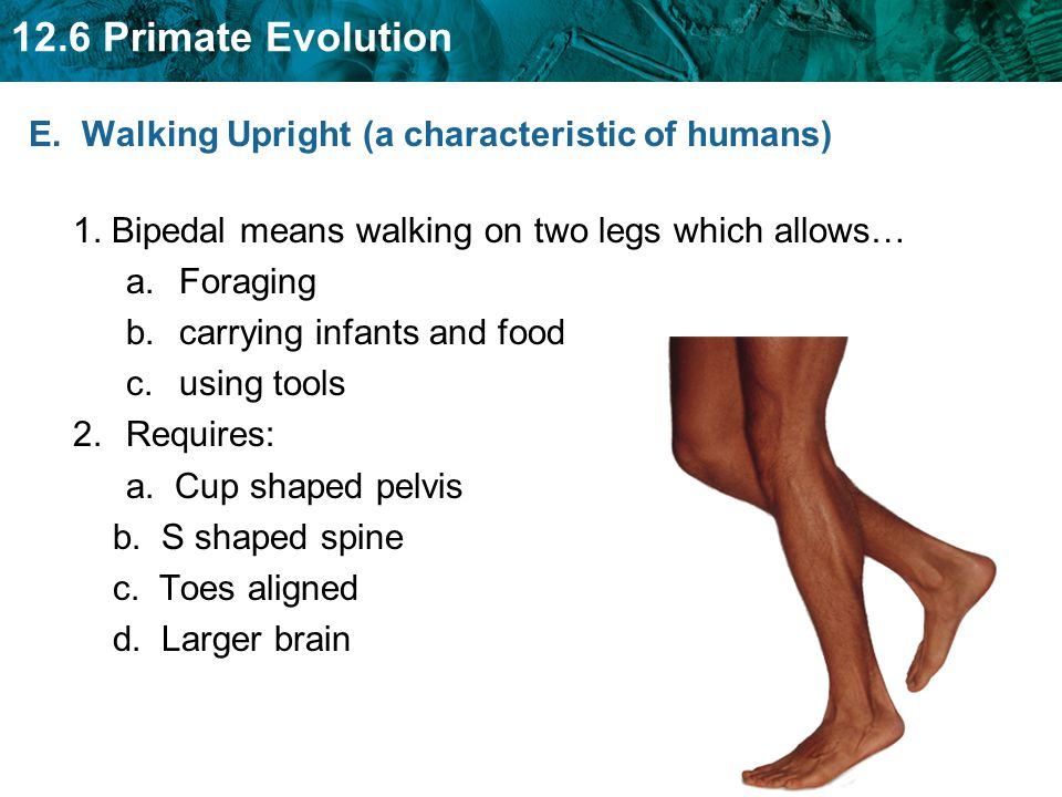 E. Walking Upright (a characteristic of humans)