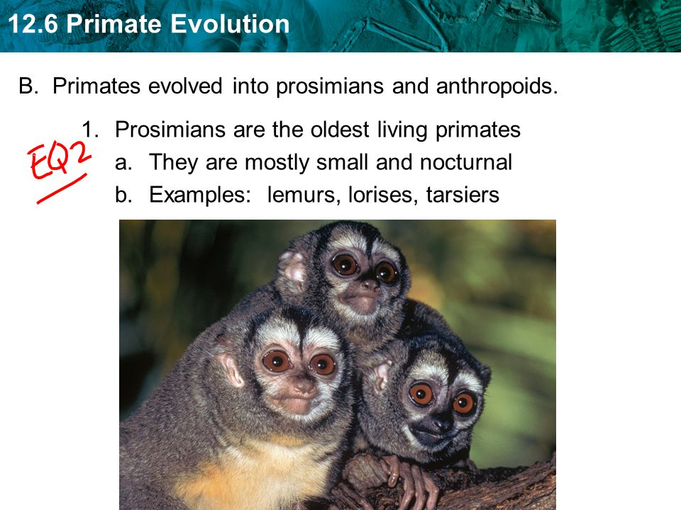 B. Primates evolved into prosimians and anthropoids.