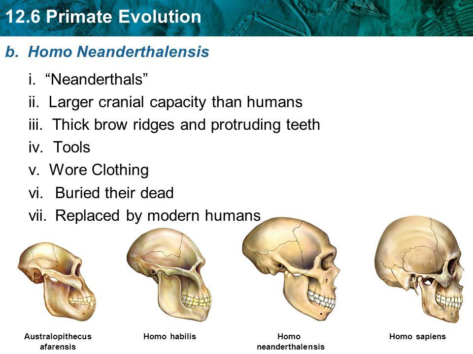b. Homo Neanderthalensis