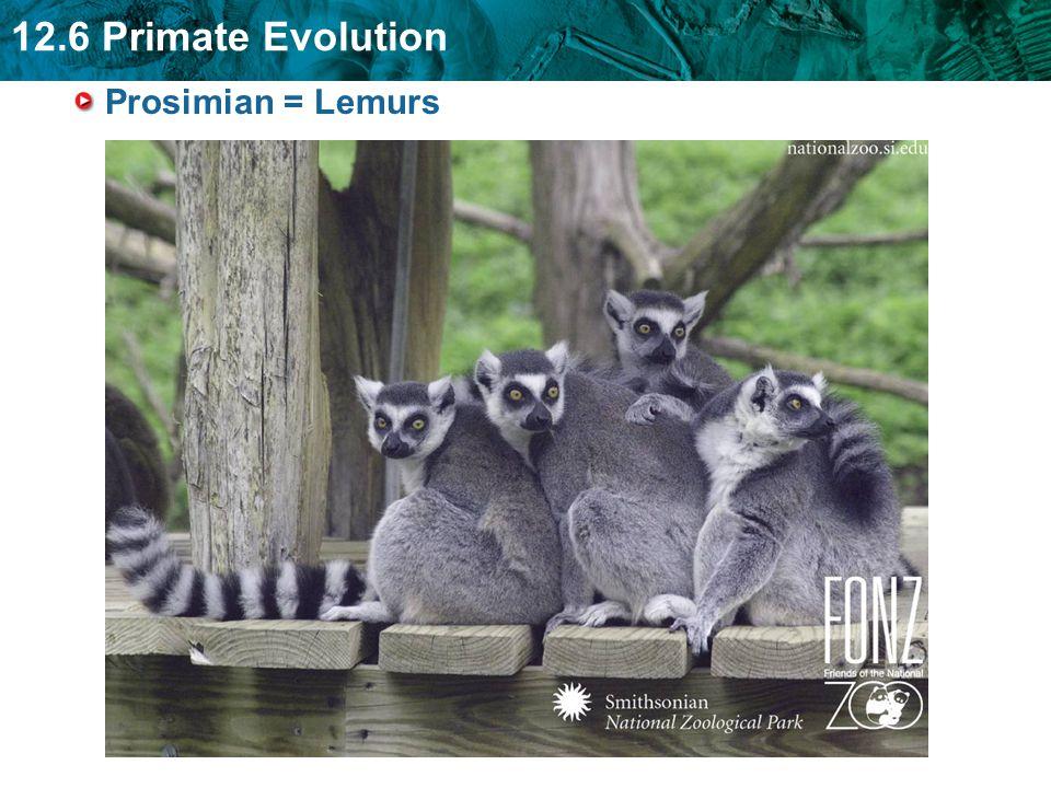 Prosimian = Lemurs