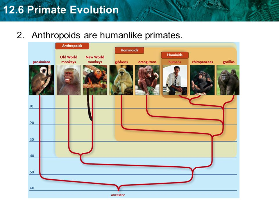 2. Anthropoids are humanlike primates.