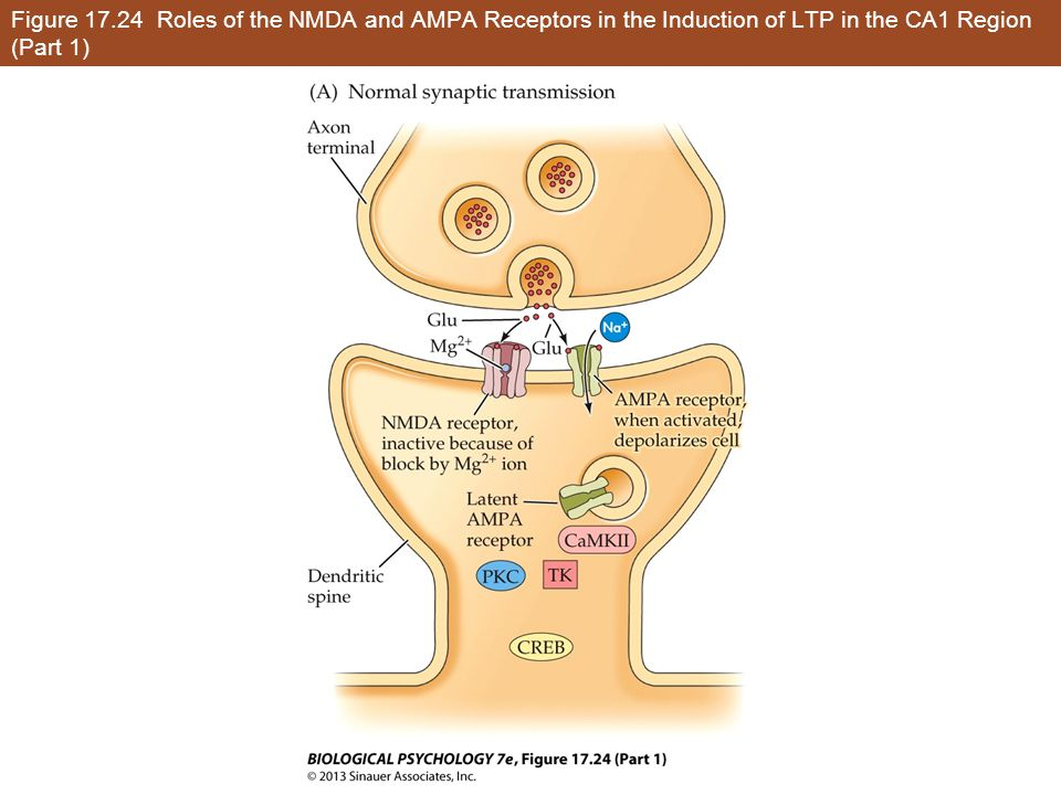 Figure 17.24 Roles of the NMDA and AMPA Receptors in the Induction of LTP in the CA1 Region (Part 1)