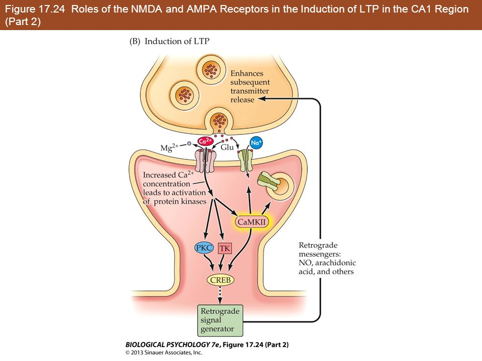 Figure 17.24 Roles of the NMDA and AMPA Receptors in the Induction of LTP in the CA1 Region (Part 2)