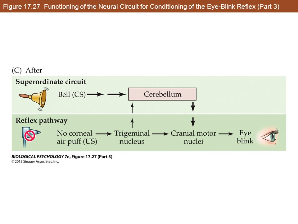 Figure 17.27 Functioning of the Neural Circuit for Conditioning of the Eye-Blink Reflex (Part 3)