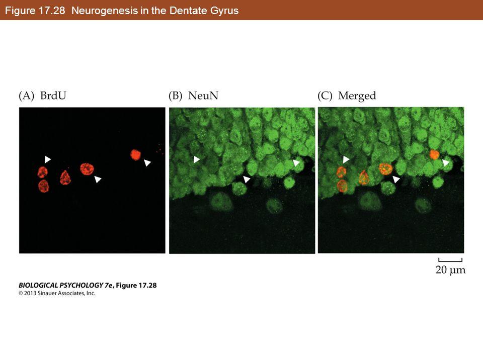 Figure 17.28 Neurogenesis in the Dentate Gyrus