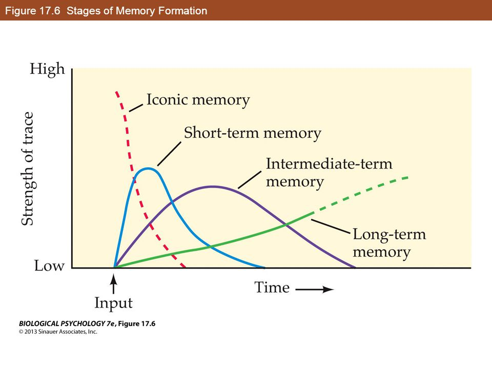 Figure 17.6 Stages of Memory Formation
