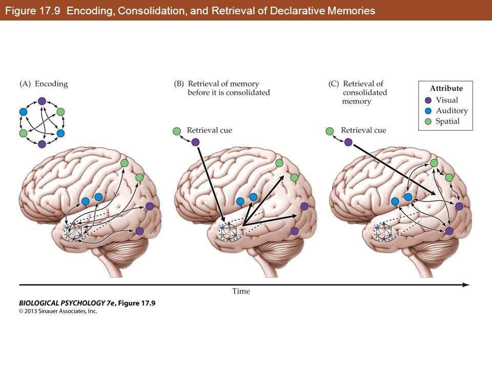 Figure 17.9 Encoding, Consolidation, and Retrieval of Declarative Memories
