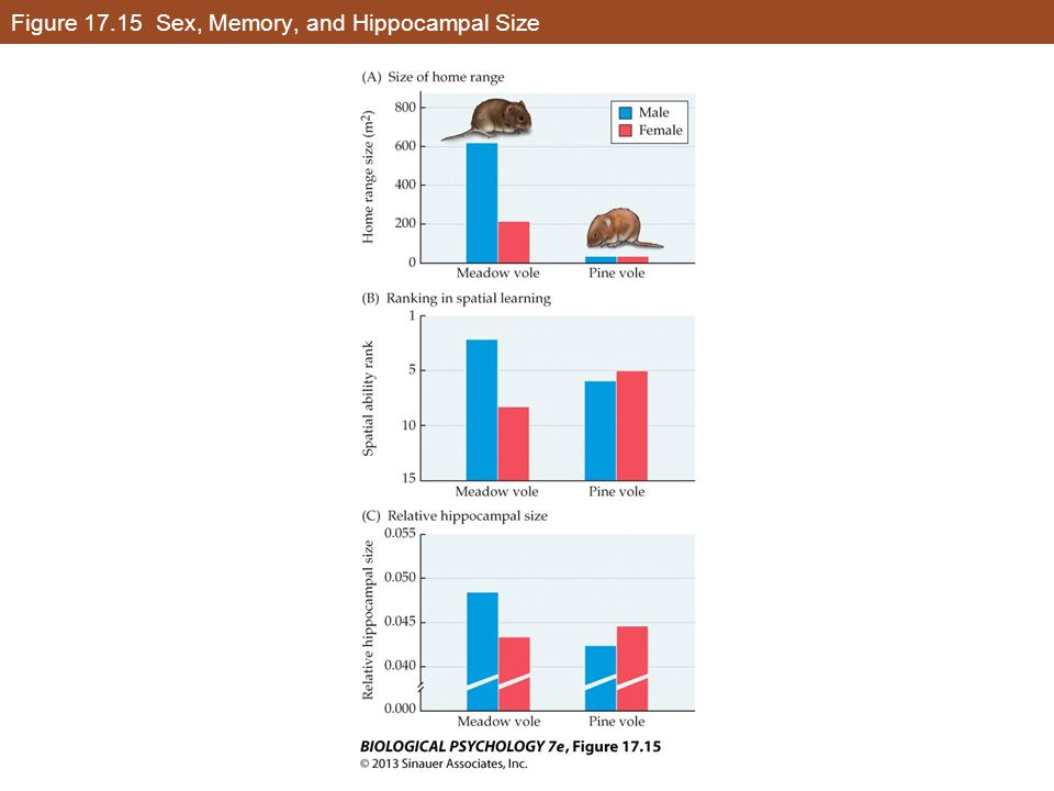 Figure 17.15 Sex, Memory, and Hippocampal Size