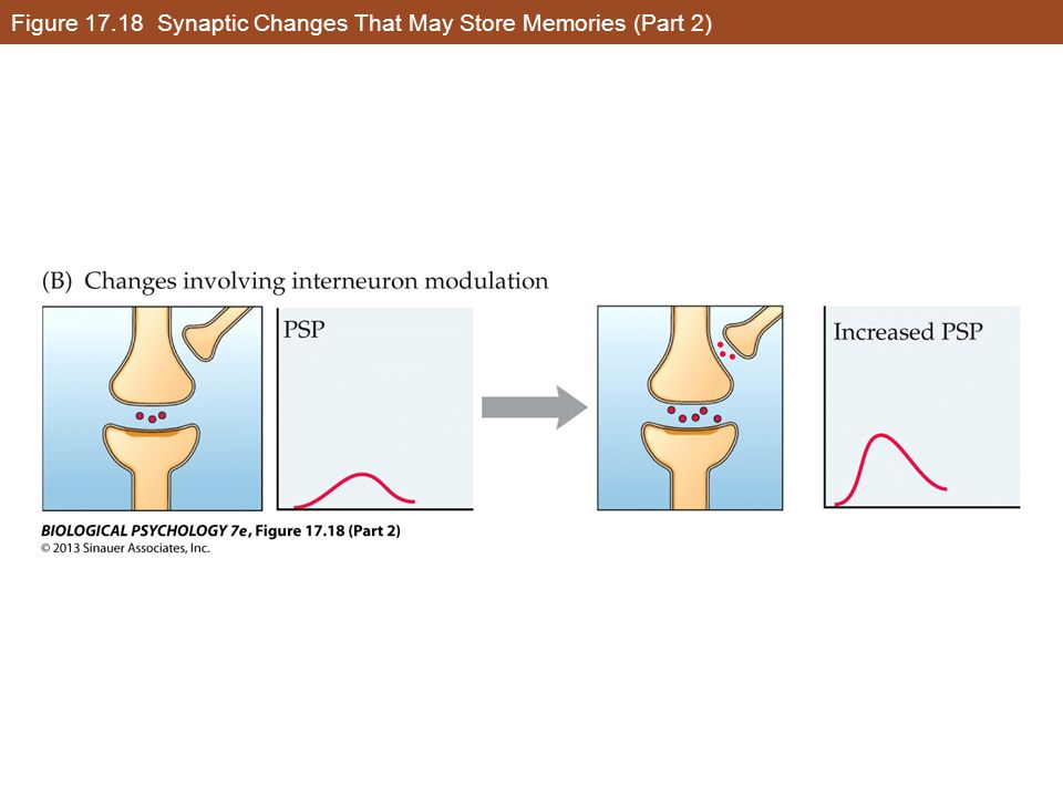 Figure 17.18 Synaptic Changes That May Store Memories (Part 2)