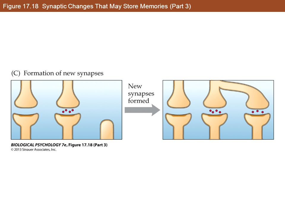 Figure 17.18 Synaptic Changes That May Store Memories (Part 3)