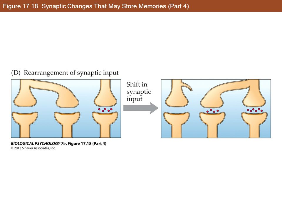 Figure 17.18 Synaptic Changes That May Store Memories (Part 4)
