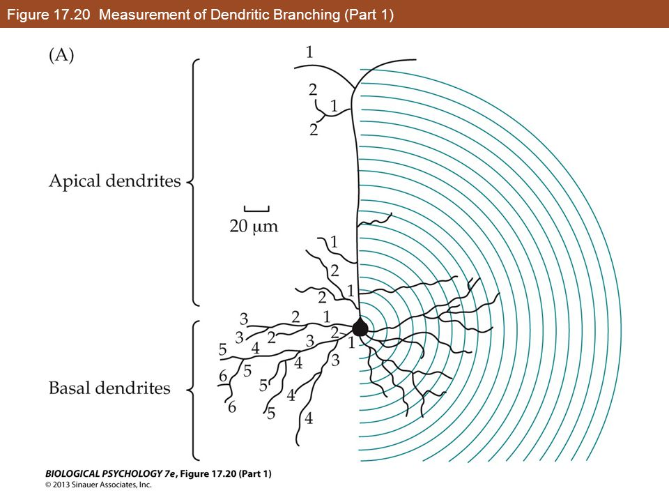 Figure 17.20 Measurement of Dendritic Branching (Part 1)