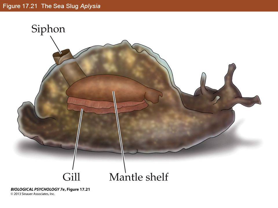 Figure 17.21 The Sea Slug Aplysia