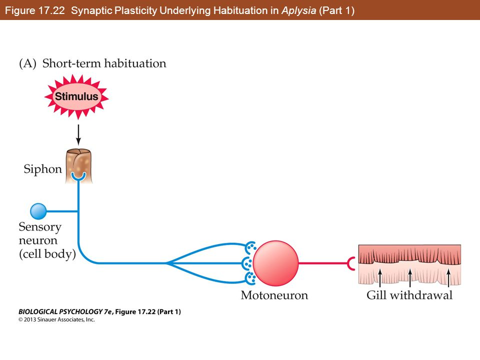 Figure 17.22 Synaptic Plasticity Underlying Habituation in Aplysia (Part 1)