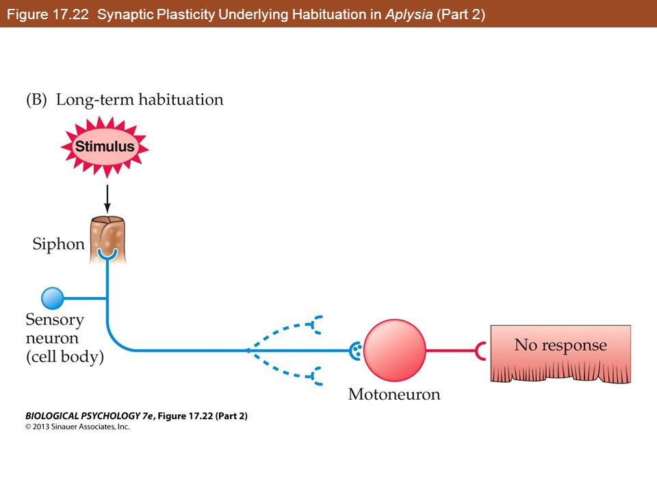 Figure 17.22 Synaptic Plasticity Underlying Habituation in Aplysia (Part 2)
