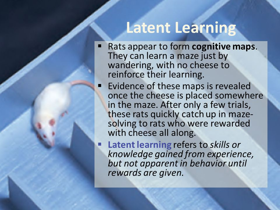 Latent Learning Rats appear to form cognitive maps. They can learn a maze just by wandering, with no cheese to reinforce their learning.