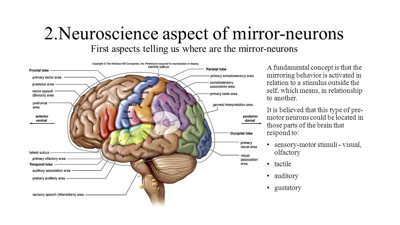 2.Neuroscience aspect of mirror-neurons First aspects telling us where are the mirror-neurons