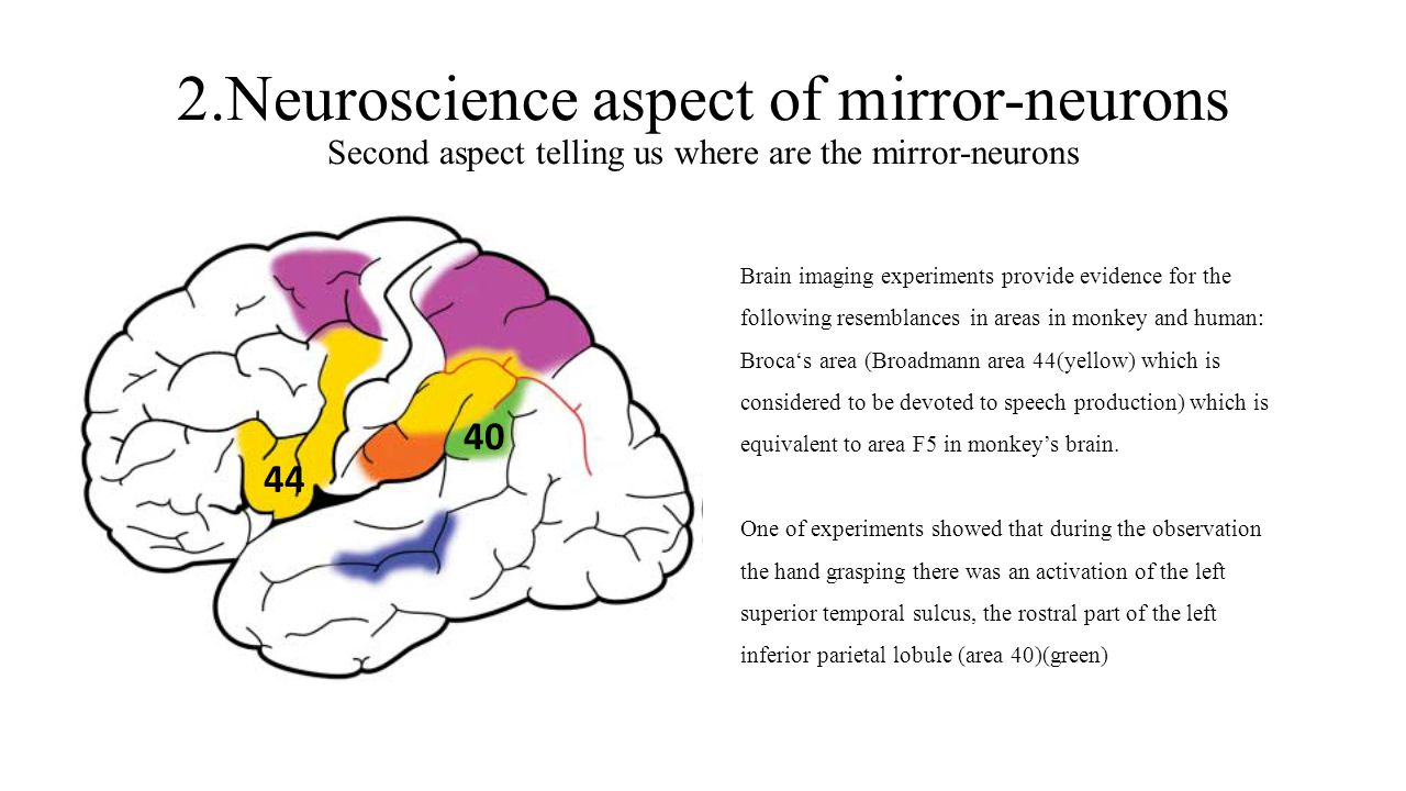 2.Neuroscience aspect of mirror-neurons Second aspect telling us where are the mirror-neurons