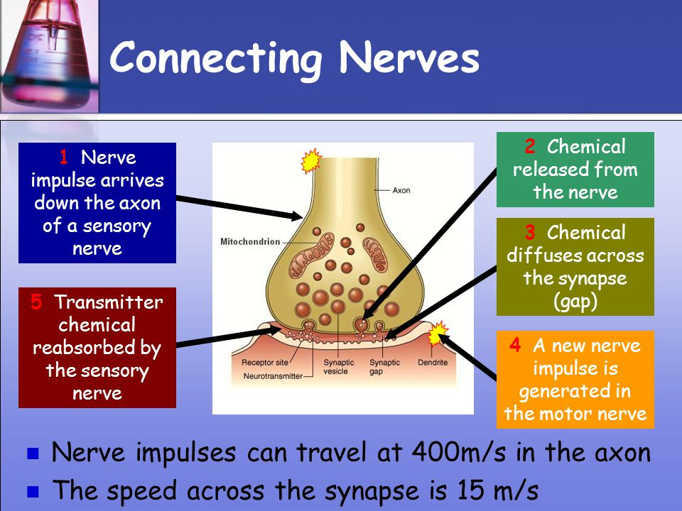 Connecting Nerves Nerve impulses can travel at 400m/s in the axon