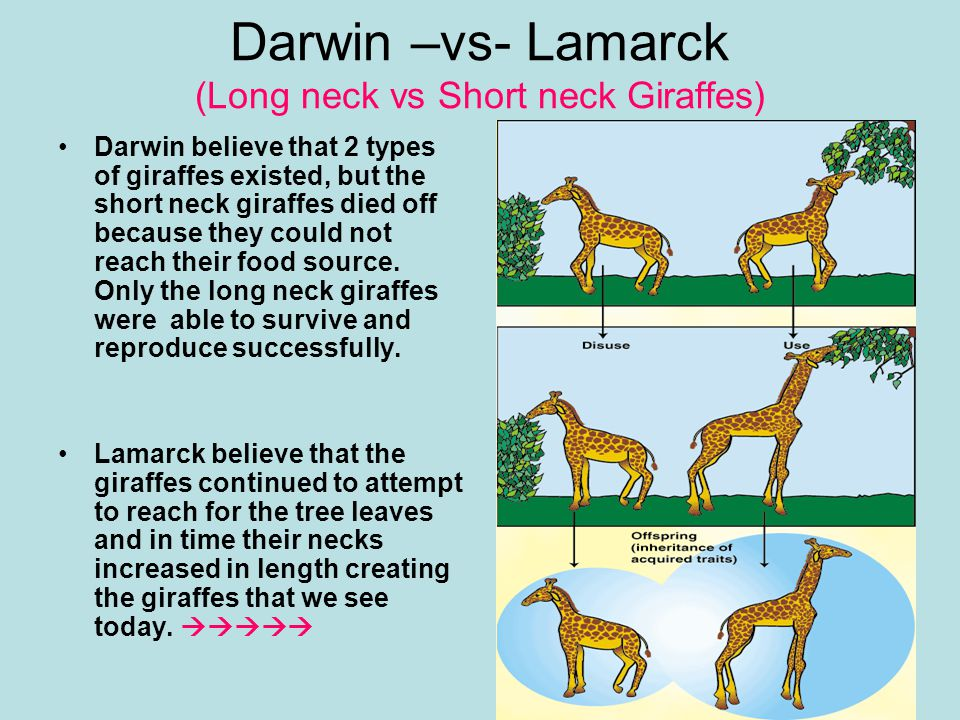 Darwin –vs- Lamarck (Long neck vs Short neck Giraffes)