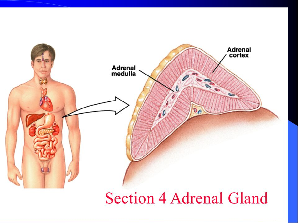 Section 4 Adrenal Gland