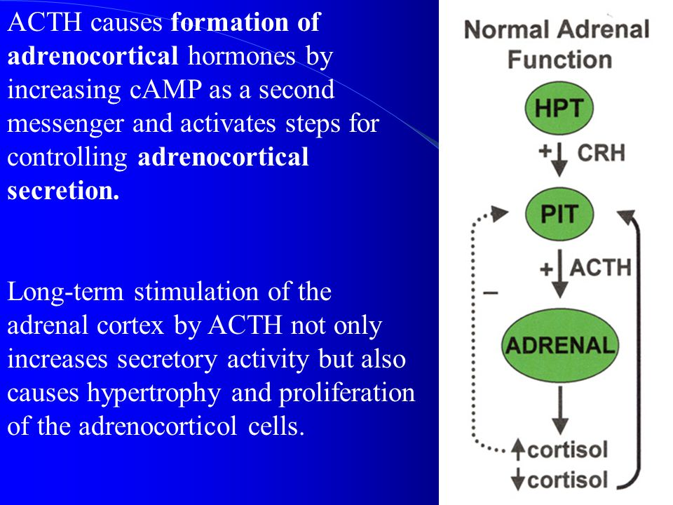 ACTH causes formation of adrenocortical hormones by increasing cAMP as a second messenger and activates steps for controlling adrenocortical secretion.