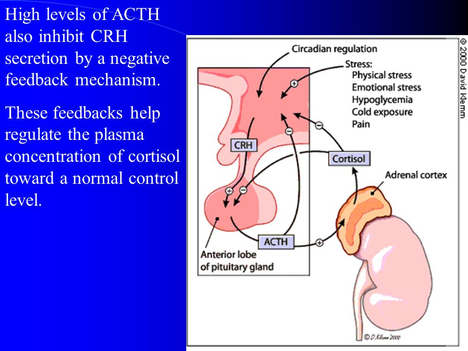 High levels of ACTH also inhibit CRH secretion by a negative feedback mechanism.