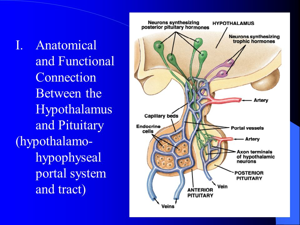 Anatomical and Functional Connection Between the Hypothalamus and Pituitary
